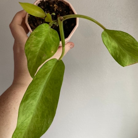 Photo of the plant species Thai sunrise by Tiffarony named Your plant on Greg, the plant care app