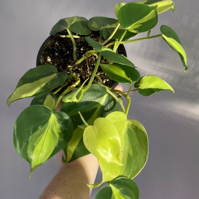 Philodendron 'Brasil' plant in Fox Island, Washington