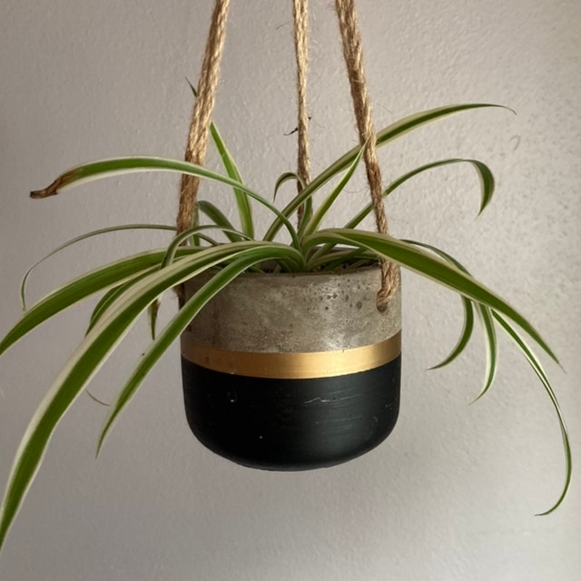 Variegated Spider Plant plant in Fox Island, Washington