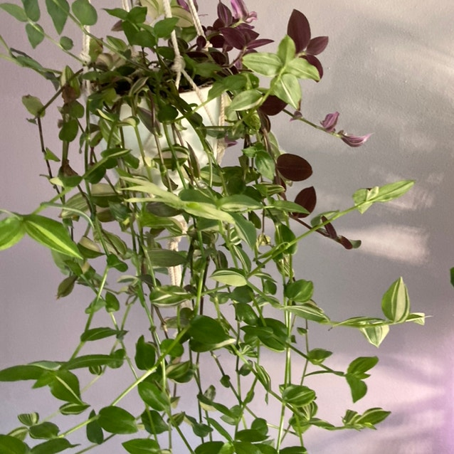 Tradescantia albiflora 'Albovittata' plant in Fox Island, Washington
