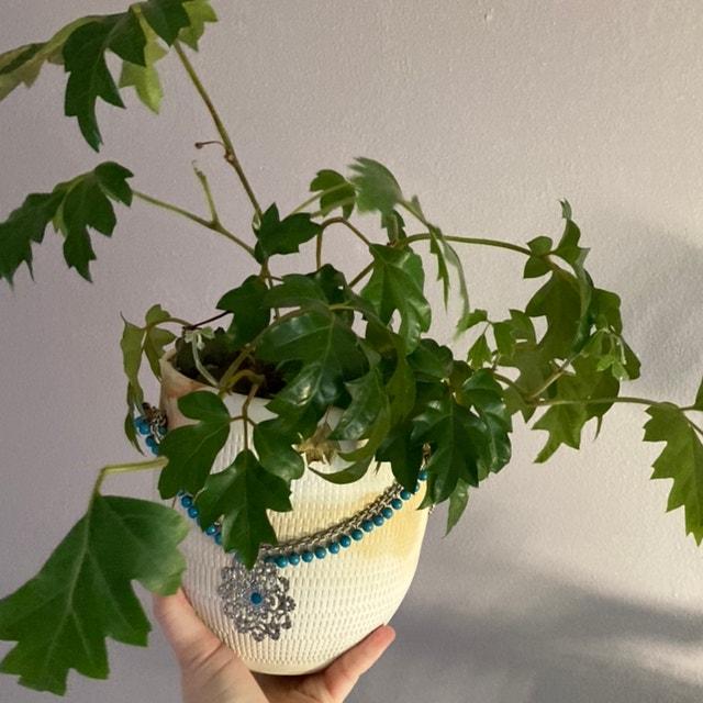 Grape Ivy plant in Fox Island, Washington