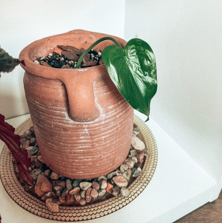 Photo of the plant species Alocasia Cucullata by Kathia99 named Mushu on Greg, the plant care app