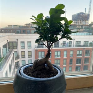 Ficus Ginseng plant photo by Aj_caesar named Toby on Greg, the plant care app.