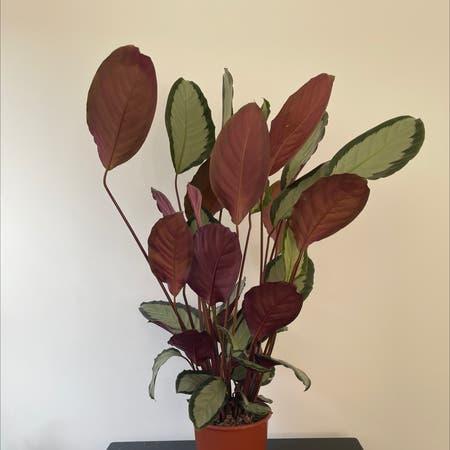 Photo of the plant species Calathea picturata 'Argentea' by Eleanortheflorist named Calathea (Bathroom) on Greg, the plant care app