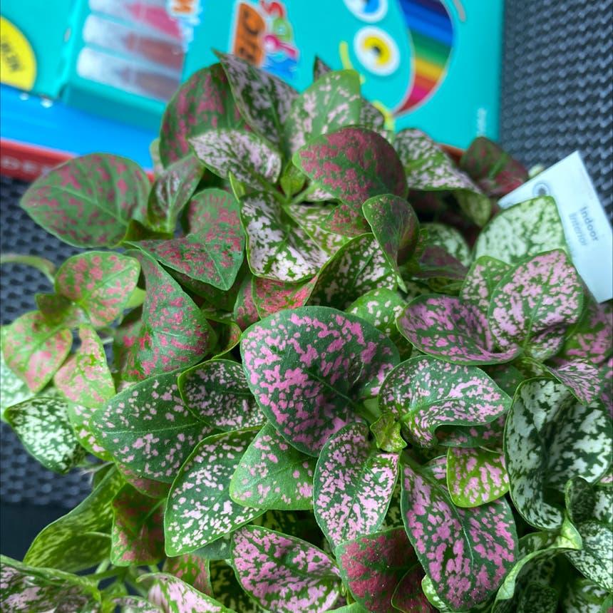 Polka Dot Plant plant