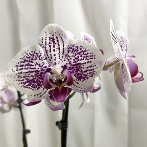 Phalaenopsis orchid plant photo by Melaza named Cleo on Greg, the plant care app.
