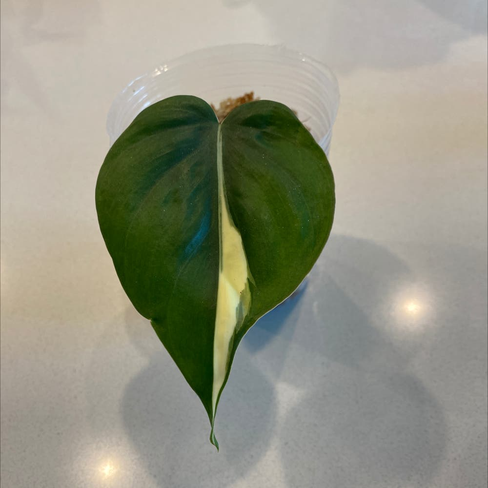 Photo of the plant species Philodendron 'Rio' by Angela named Your plant on Greg, the plant care app