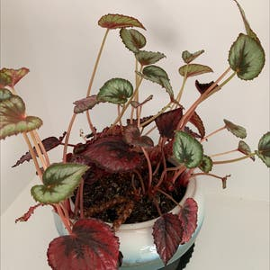 Begonia cucullata plant photo by Mbrookem named Harry on Greg, the plant care app.