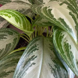 Chinese Evergreen plant photo by Sabjudah named Namey Name on Greg, the plant care app.