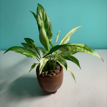 Photo of the plant species Variegated Peace Lily by Ata named Dick Grayson on Greg, the plant care app