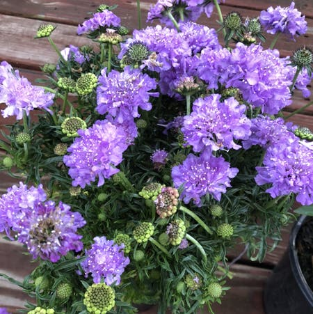 Photo of the plant species Devil's-bit scabious by Amberblueeyes named Figyonce on Greg, the plant care app