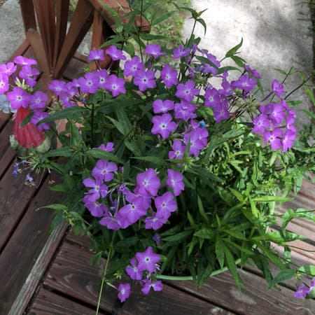 Photo of the plant species Phlox Paniculata by Amberblueeyes named Messi on Greg, the plant care app