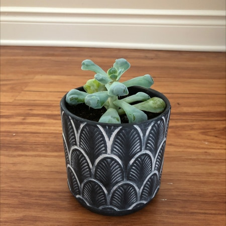 Photo of the plant species Echeveria 'Heart's Delight' by Christina named Bumpy on Greg, the plant care app