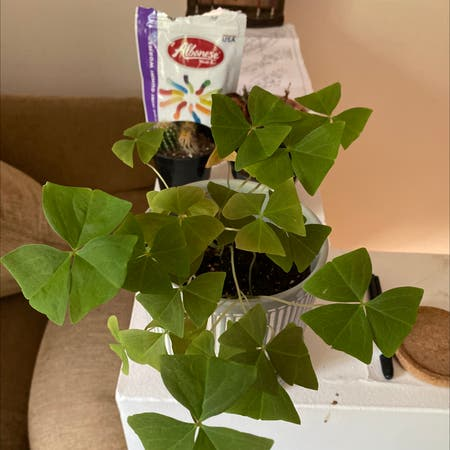 Photo of the plant species Oxalis Regnelli by Baileysplant named sam on Greg, the plant care app