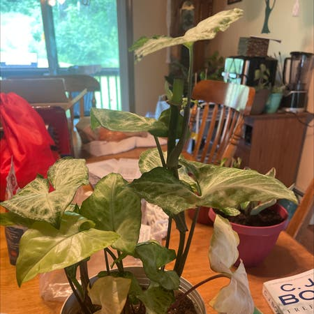 Photo of the plant species Syngonium 'Painted Arrow' by Liane128 named Suzie on Greg, the plant care app