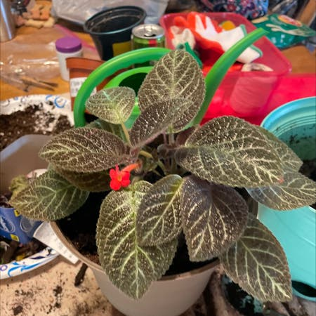 Photo of the plant species Flame Violet 'Karlyn' by Liane128 named Karlyn on Greg, the plant care app