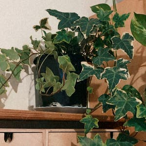 English Ivy plant photo by Plant_parent named Ivy 🌱 on Greg, the plant care app.
