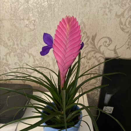Photo of the plant species pink quill by Kaitlyn2000mann named Cleopatra on Greg, the plant care app