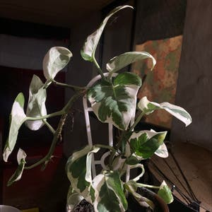 Pothos N'Joy plant photo by Xxjazzxxpazz named Ivy may on Greg, the plant care app.