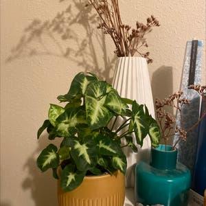 Arrowhead Plant plant photo by Ebony named Francesca on Greg, the plant care app.