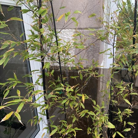 Photo of the plant species Black chokecherry by Matthew named Your plant on Greg, the plant care app
