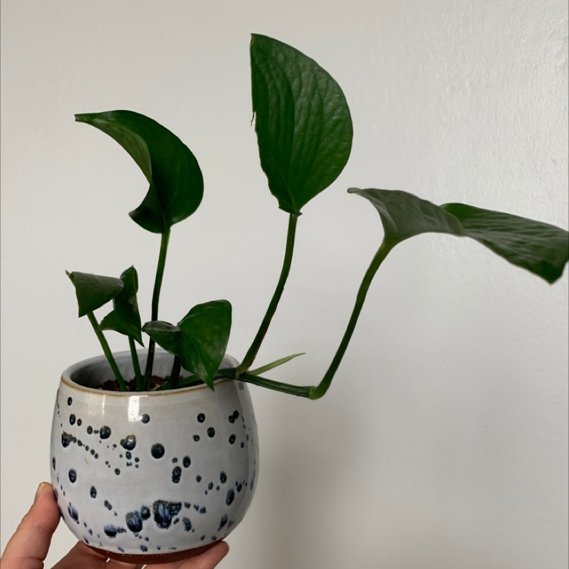 Heartleaf philodendron plant in Phoenix, Arizona