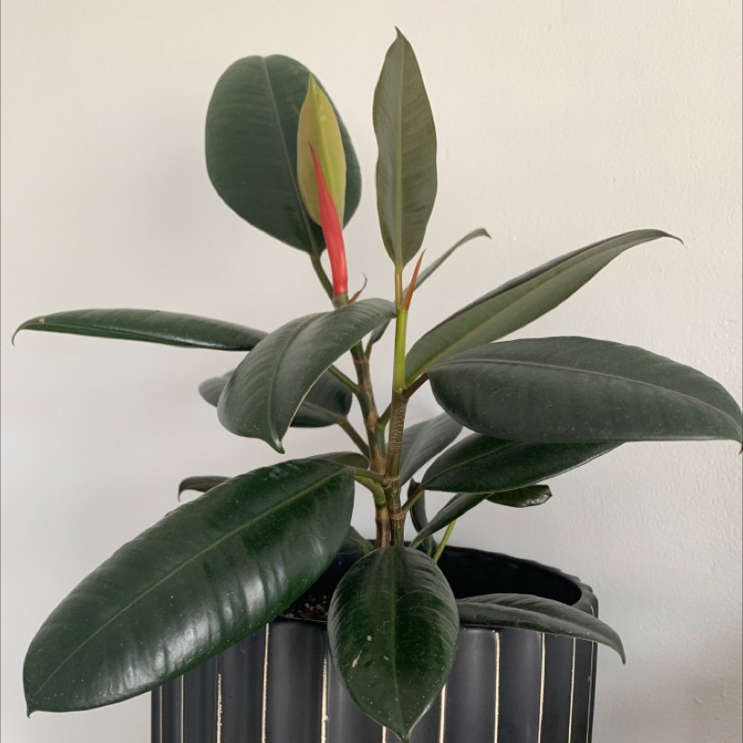 Rubber Plant plant in Phoenix, Arizona