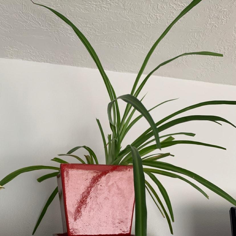 Spider Plant plant in Phoenix, Arizona