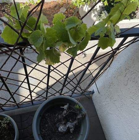 Photo of the plant species Wine Grape by Fancystache named Dead Grapes on Greg, the plant care app