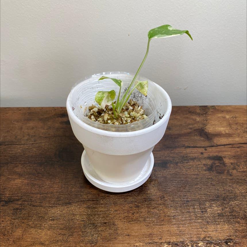 Monstera 'Thai Constellation' plant