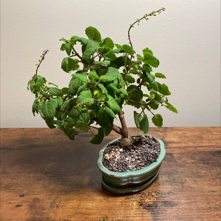 Photo of the plant species Bonsai Mint by Princessplantpirate named Bonnie on Greg, the plant care app