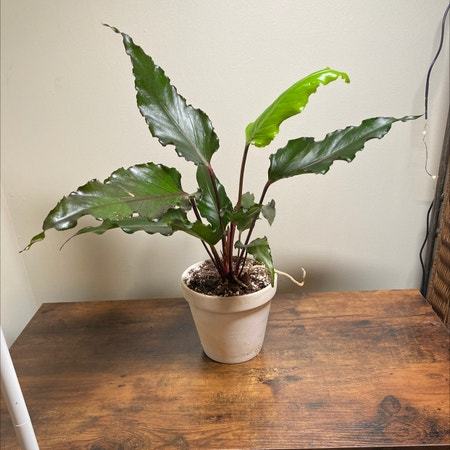 Photo of the plant species Anthurium Black Dragon by Princessplantpirate named Drac on Greg, the plant care app