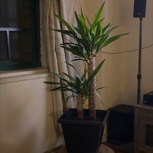 Blue-Stem Yucca plant photo by Sara named Mizo on Greg, the plant care app.