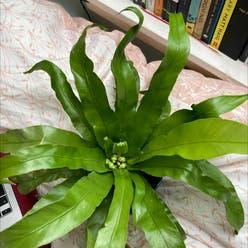 Bird's Nest Fern plant