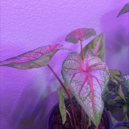 Photo of the plant species Caladium hortulanum by Plantaliinda named Captain Plant-it on Greg, the plant care app