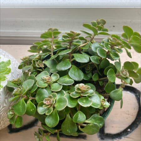 Photo of the plant species Two-Row Stonecrop by Pascabelly named flora on Greg, the plant care app