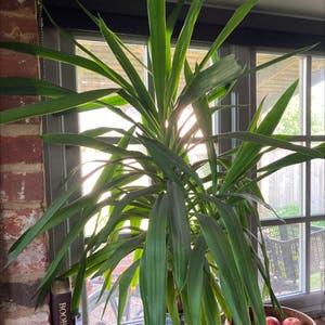Blue-Stem Yucca plant photo by Chantal named Yasmine the Yukka on Greg, the plant care app.