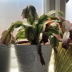 False Christmas Cactus plant photo by Dannielle named Freida on Greg, the plant care app.