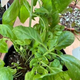 Sweet Basil plant in Atascocita, Texas