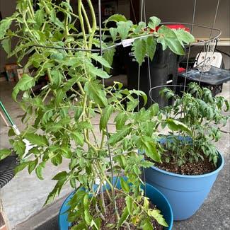 Tomato Plant plant in Atascocita, Texas