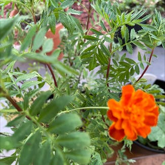 African Marigold plant in Atascocita, Texas