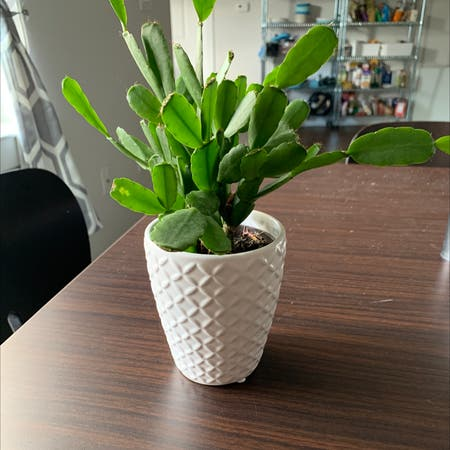 Photo of the plant species Easter Cactus by Sarabethcoyle named bunny on Greg, the plant care app