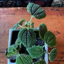 Friendship Plant plant
