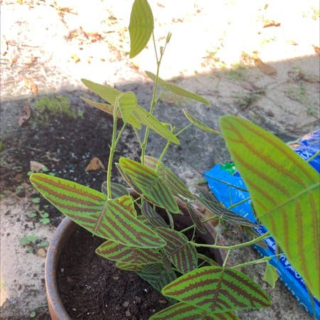 Photo of the plant species Swallowtail Plant by Sarah named mr. worldwide on Greg, the plant care app