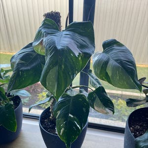 Philodendron 'White Princess' plant photo by Staceymm named Mumma white on Greg, the plant care app.
