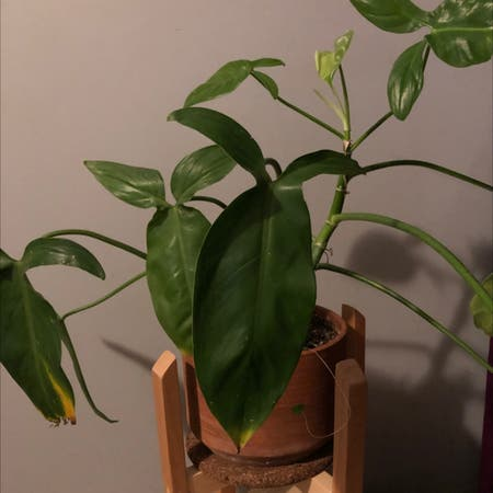 Photo of the plant species Green Arrow-Arum by Dmaribell named Cornelia on Greg, the plant care app