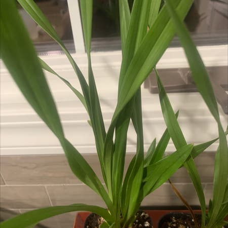 Photo of the plant species Gladiolus murielae by Jerod named Your plant on Greg, the plant care app