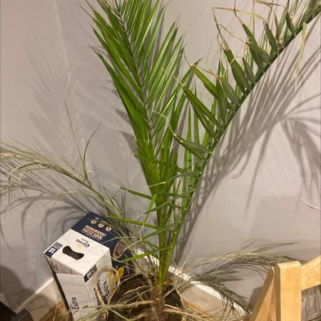 Photo of the plant species Canary Island date palm by Olivia named Living room on Greg, the plant care app