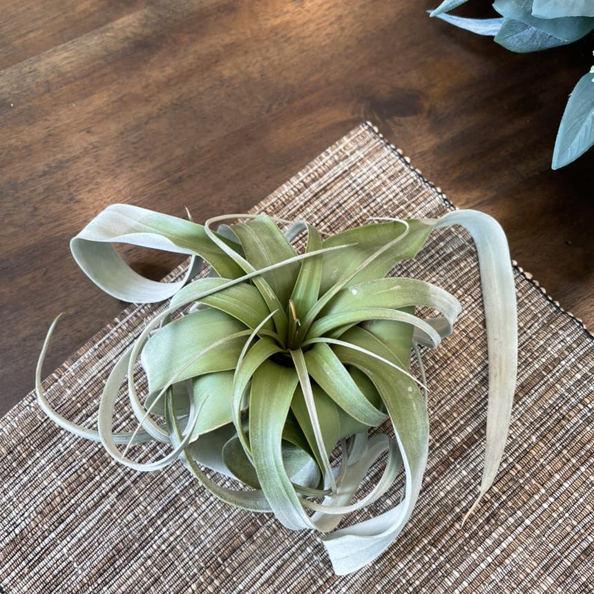 Shirley Temple Air Plant plant
