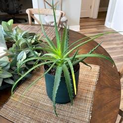 Candelabra aloe plant